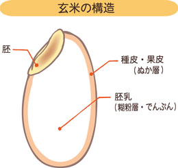 玄米の構造