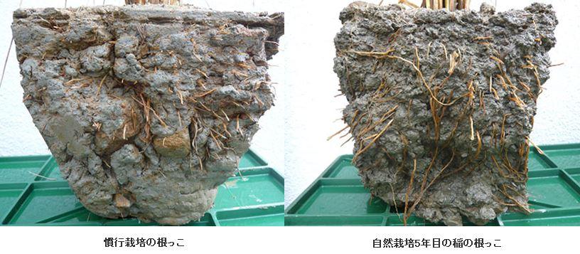 根の比較自然栽培