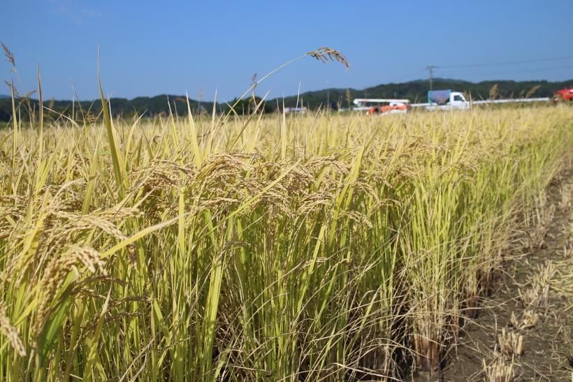 自然栽培米の収穫時の色は何故こんなに薄い!