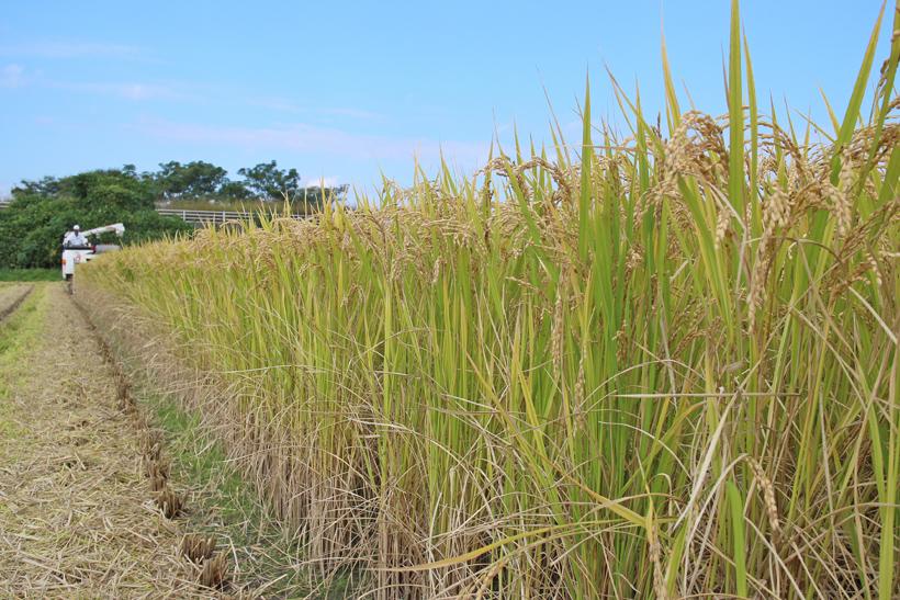 前田自然栽培米ミナミニシキの稲