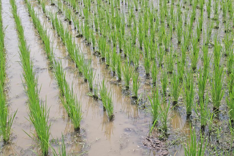 前田自然栽培米ミナミニシキ除草前後