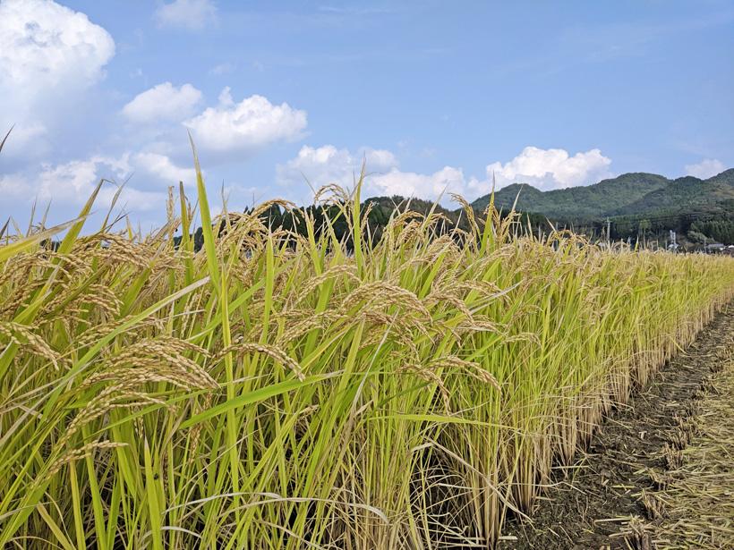 前田自然栽培米ミナミニシキの稲穂