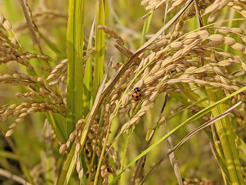 前田自然栽培米ミナミニシキの稲穂とテントウムシ