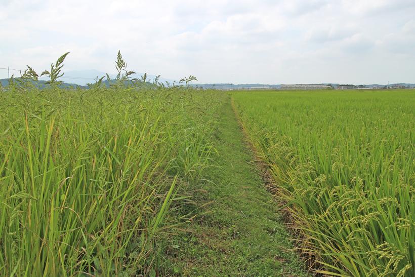 ミナミニシキの草多い時期稲の比較