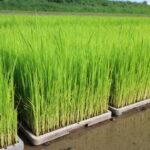無農薬のミナミニシキ作りにおいて最初に行う苗床作業とは?