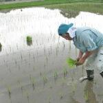 前田自然栽培米ミナミニシキの除草と補植作業