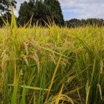 ミナミニシキの隆盛と衰退ー今なお種を守り継いでゆく2人の農家ー