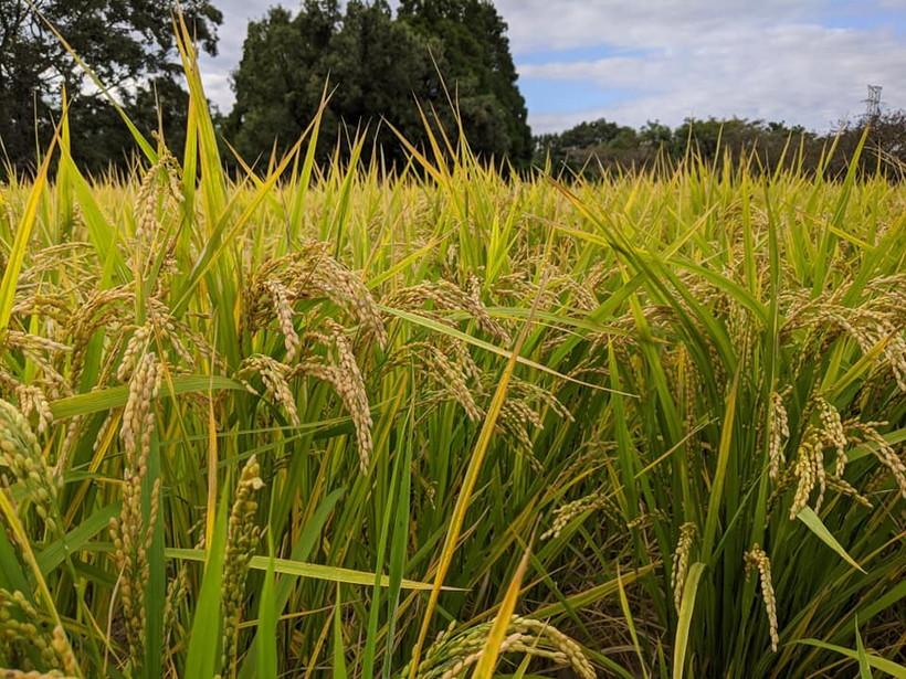 自然栽培米ミナミニシキに寄せられたご感想を一部ご紹介