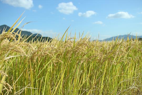 ミナミニシキの稲